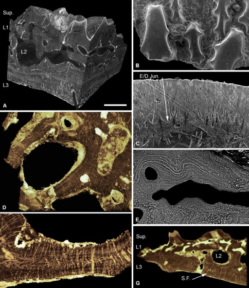 Histology of Tesseraspis tesselata. NHM P.73617, SRXTM sections through an isosurface model of a tessera (A); SEM of the external surface morphology of a tessera, showing two distinct tubercle generations, specimen lost (B); etched SEM section through the enameloid capping layer of the superficial layer, specimen lost (C); NHM P.73617, SRXTM volume rendered transverse section through L2, showing the architecture of the intersecting radial walls (D); NHM P.73618, SEM BSE section through L2 showing truncated centripetal lamellae interpreted as resorption (E); volume rendered virtual thin sections of NHM P.73617 (F, G); transverse section through a radial wall of L2, showing the arrangement of thread‐like spaces (F); section through the dermal skeleton of a tessera, showing the arrangement of Sharpey's fibres in L3 (G). S.F., Sharpey's fibres. Scale bar equals 193 μm in (A), 628 μm in (B), 47 μm in (C), 124 μm in (D), 68 μm in (E), 64 μm in (F) and 230 μm in (G).