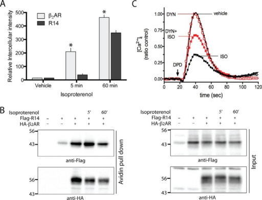 "Distribution and functional contributions of TAS2R14 internalization by β-agonist. HEK-293T cells were transfected with HA-β2AR and FLAG-TAS2R14. Cells were treated with ISO for 5 min or 1 h, and the change in intracellular expression of each receptor determined by fluorescence microscopy (A) and the change in cell surface expression by the biotinylation assay (see ""Experimental Procedures"") (B). As expected, intracellular β2AR increased in a time-dependent manner (A), with concomitant decrease in cell surface expression (B) after 5 min exposure to ISO. In contrast, there was no statistically significant redistribution of TAS2R14 from the cell surface to cytosol at 5 min. However, by 1 h intracellular accumulation and loss of cell surface TAS2R14 was detected. Results are representative of 5 independent experiments, where β2AR cell surface expression loss was 52 ± 2.1 and 86.75 ± 1.1%, and TAS2R14 loss was 11 ± 1.3 and 64 ± 2.6%, at the 5-min and 1-h time points, respectively. In C, the response to TAS2R14 agonist DPD is quantitated after 1 h of ISO in the absence or presence of the internalization inhibitor dynasore. The loss-of-function of TAS2R14 from 1 h ISO was only partially rescued by blocking internalization, consistent with the rapid receptor:receptor uncoupling process still in effect. Results are from a single representative experiment performed in triplicate. See text for statistical analysis from multiple experiments."