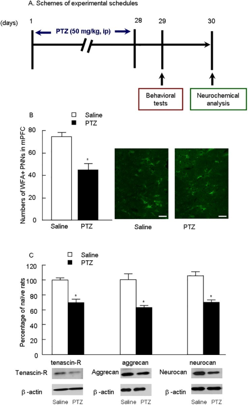 Chronic PTZ treatment reduced PNNs (WFA), tenascin-R, aggrecan and Neurocan in the medial prefrontal cortex.(A) Schemes of experimental schedules. (B) Numbers of WFA+ PNNs in mPFC of control and PTZ treatment, scale bar is 50 μm, n = 6 per group. Representative WFA+ images of immunofluorescence staining are shown on the right. The data are expressed as mean ± SEM. (C) The levels of tenascin-R, aggrecan and Neurocan in mPFC are shown. Representative Western blot images are shown on the right. The data are expressed as a percentage of the values obtained for the rats treated with saline. *p < 0.01, different from corresponding saline groups (n = 6).