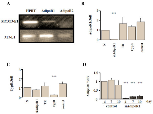 Adiponectin R1 and R2 expression in MC3T3-E1 cells and effects of siRNA-AdipoR1 transfection. (A) Adiponectin receptor expression in MC3T3-E1 cells. Total RNA from the cells was subjected to RT-PCR. HPRT, house keeping gene, and AdipoR1 were visualized in a 2% agarose gel stained with ethidium bromide. AdipoR1 mRNA but not AdipoR2 was expressed in MC3T3-E1 cells, while both of them were expressed in 3T3-L1 cells, which were examined as a positive control. (B) Confirmation of the effect of siRNA-AdipoR1. The siRNA restrained only siAdipoR1, showing that its knock down effect was specific (p < 0.001). N; 0.2% BSA, TR; transfection reagent, CypB; transfection of siRNA-Cyclophilin B (CypB), control; transfection of non-targeting siRNA. (C) Confirmation of the effect of siRNA-CypB. (D) The durability of siRNA-AdipoR1. Total RNA was collected at 4, 7, 10 days after siRNA transfection. The knock down effect of siRNA-AdipoR1 was sustained as long as 10 days after transfection at the expression level of 14.9% of the control. Results are expressed as the mean ± SEM fold increase (n = 5) over control values. * p < 0.05, ** p < 0.01, *** p < 0.001.