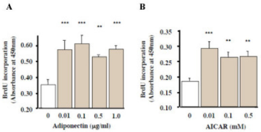 Effects of recombinant adiponectin and AICAR treatments on BrdU incorporation by MC3T3-E1 cells. Cells were exposed to 0.01–1.0 μg/ml adiponectin or 0.01–0.5 mM AICAR for 24 h. Cell proliferation was determined by measuring the amount of incorporated BrdU. Proliferation was significantly promoted by both low dose adiponectin (A) and AICAR (B) treatments (p < 0.01). The results were the representative of three different experiments.
