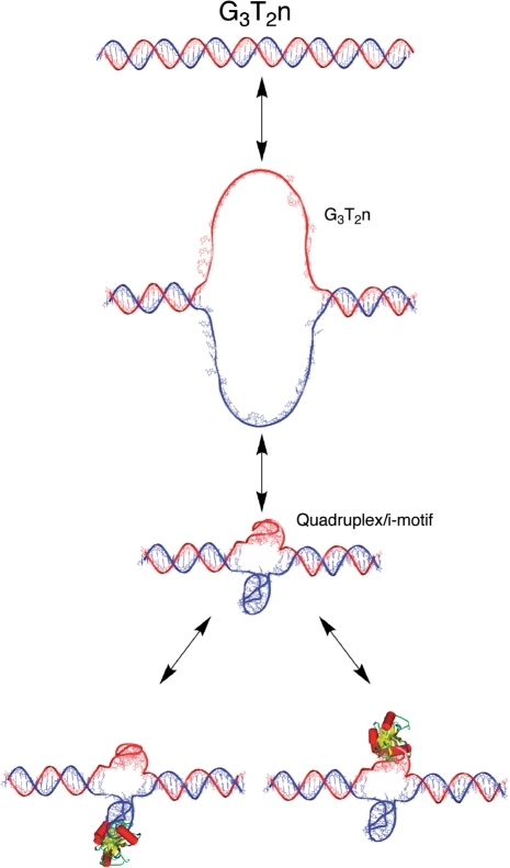 Formal model for formation of an internal G-quadruplex or other intramolecular structure. Duplex DNA with a G-quadruplex potential sequence (top) unwinds and histones redistribute, leading to base-pair dissociation and formation of an open loop (middle). The G-rich strand forms a unimolecular G-quadruplex structure in the presence of a single-stranded complementary C-rich strand. This potentially could form an intramolecular i-motif as shown (third from top). The quadruplex and/or the C-rich strand may be stabilized by proteins (as shown at bottom) or other ligands. The binding energy required to overcome the unwinding is discussed in the text.