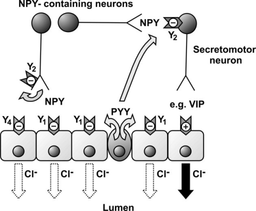 Schematic diagram showing the intramural sites of action of endogenous PYY and NPY in normal mouse and human colon mucosa. Direct activation of epithelial Y1 receptors by PYY (and NPY) will inhibit epithelial anion (Cl−) secretion. NPY released from submucosal secretomotor neurons can auto-inhibit its release (lefthand side, a Y2-mediated effect) and also, when released from interneurons, can inhibit (again via Y2 receptors) secretomotor (e.g., VIP-ergic) neurons. Endocrine PYY can co-activate neuronal Y2 receptors and predominant epithelial Y1 receptors, and both mechanisms result in sustained inhibition of epithelial Cl− secretion. The NANC neurotransmitter in the final secretomotor neuron (righthand side) has yet to be positively identified but is likely to be VIP, which in turn stimulates prolonged epithelial cyclic adenosine monophosphate–dependent Cl− secretion that can be inhibited by Y1 (or Y4) receptor activation. NPY, neuropeptide Y; PYY, peptide YY; VIP, vasoactive intestinal polypeptide.