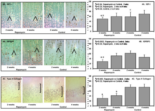 The panels on the left show representative photomicrographs of IGF-I protein expression (4A), 50× (denoted by the brown color and arrows); ap < 0.04 Rapamycin (2 weeks) vs Control (2 weeks); bp < 0.03 Rapamycin (2 weeks) vs Rapamycin (4 weeks); cp < 0.03 Control (2 weeks) vs Control (4 weeks). IGFBP3 protein expression (4B, denoted by arrows and brown color), 50×; ap < 0.002 Rapamycin (2 weeks) vs Control (2 weeks); bp < 0.03 Rapamycin (2 weeks) vs Rapamycin (4 weeks). Type × collagen (col10a) protein expression localized only to the hypertrophic chondrocytes (4C, denoted by purple color and brackets), 20×; ap < 0.005 Rapamycin (2 weeks) vs Control (2 weeks); bp < 0.02 Rapamycin (4 weeks) vs Control (4 weeks). The panels on the right show the quantification of the protein expression for IGF-I (upper panel); IGFBP3 (middle panel); and type × collagen (lower panel) after 2 weeks and 4 weeks in Rapamycin and Control groups expressed as number of labeled cells to the total number of cells in the appropriate zone (Labeling Index).