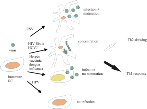 Some effects of viral interaction with DCs.Certain viruses, like RSV, infect DCs, replicate in them, and cause them to mature, while others, like several herpesviruses, dengue virus, and influenza virus, replicate and hinder maturation. Viruses like HPV do not replicate in DCs and are only presented as antigens, while others, like HIV, are concentrated and delivered to their target organs by DCs, which thereby increase the chances of virions to infect cells.