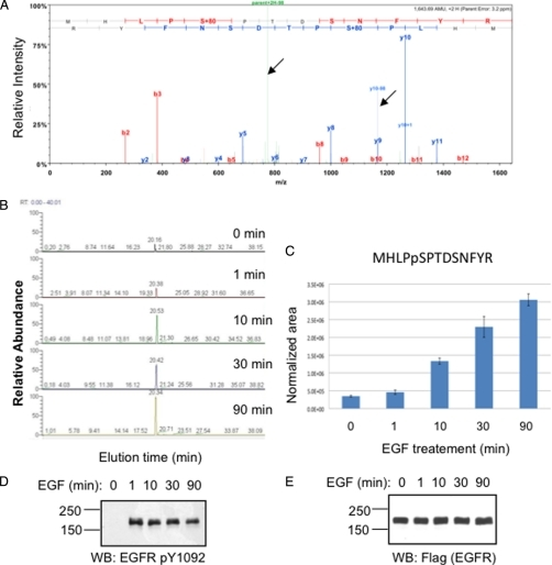 "Detection and quantification of phosphorylation at EGFR Ser991 by SRM. A, trypsin-digested immunopurified EGFR was analyzed by high resolution LC-MS/MS (Proxeon LC/source; Thermo LTQ-Orbitrap). The MS/MS spectrum of the EGFR peptide MHLPpS991PTDSNFYR (where pS is phosphoserine) is shown (upper panel). The y and b series ions are indicated. Arrows point to product ions corresponding to parent − 98 and y10 −98 ions (as indicated), which reflect the neutral loss of phosphoric acid from the Ser(P) side chain. B, SRM LC elution profiles plotting the summed signal intensities of ions corresponding to singly phosphorylated MHLPSPTDSNFYR (precursor, m/z = 822.85, z = 2) transitioning to 1) precursor − 98/2 (m/z = 773.86, z = 2) and 2) y10 − 98 (m/z = 1165.50, z = 1) at various time points after EGF stimulation as indicated. C, histogram depicting the integrated SRM signal intensities normalized to a non-phosphorylated EGFR peptide in the same sample. Error bars indicate S.D. from three biological repeats of the experiment. D and E, Western blot (WB) analysis of whole-cell protein extracts from HEK-EGFR cells harvested following EGF treatment for the indicated durations. Antibodies specific to the EGFR phosphoepitope containing Tyr(P)1092 (D) or that recognize the FLAG epitope on EGFR-FLAG protein (E) were used to probe the filters, which were further developed with appropriate secondary antibody-enzyme conjugates and chemiluminescence imaging (see ""Experimental Procedures""). pY, phosphotyrosine."
