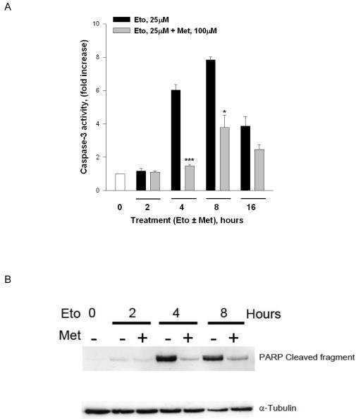 The M3-muscarinic receptor protects SH-SY5Y cells from DNA-damage induced apoptosisSH-SY5Y cells were treated with etoposide (Eto, 25μM) in the presence or absence of methylcholine (Met, 100μM) for 2-16 hours. After treatment, cells were lysed and lysates processed either for (A) caspase-3 activity, (B) Western blotting for PARP cleavage or (C) Western blotted for cytsolic cytochrome C, cleaved caspase 9 and cleaved caspase 3 together with Western blots for Bid and caspase 8. (D) SH-SY5Y cells were treated with etoposide (Eto, 25μM) in the presence or absence of methylcholine (Met, 100μM) for 4 hours. During this period methylcholine stimulation was stopped by addition of the antagonist atropine (10μM) at the indicated times. Lysates were prepared at the end of the experiment and caspase activity determined.The Western blots shown are typical of at least three experiments. The graphical results represent the mean (± SE) of at least 3 independent experiments. *** p<0.001, * p<0.05; paired Students t-test; represents significant difference from etoposide only treatment.