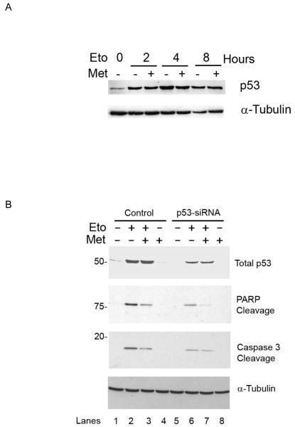 p53-mediates the apoptotic response to etoposide in SH-SY5Y but M3-muscarinic receptors protect against apoptosis independently of changes in p53 expression(A) SH-SY5Y cells treated with etoposide (Eto, 25μM) in the absence or presence of methylcholine (Met, 100μM) were lysed and the lysates processed for p53 expression. (B) SH-SY5Y cells were transfected with either siRNA duplex targeted to p53 or control duplex. 48 Hours later cells were treated for four hours with etoposide (Eto, 25mM) in the presence or absence of methacholine (Met 100μM). Cell Lysates were then prepared and probed for p53, PARP cleavage and caspase 3 processing. Shown is a typical experiment of at least three independent experiments.