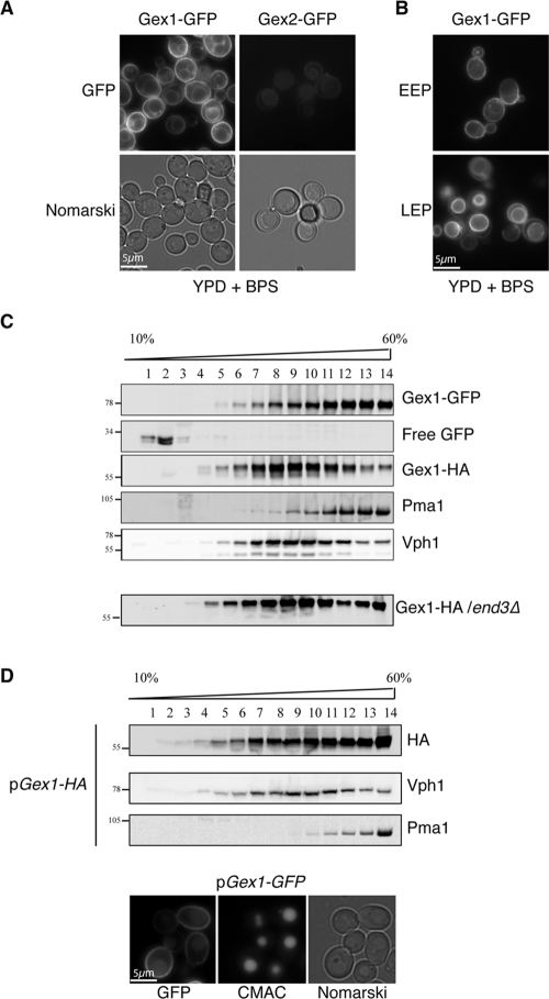 Subcellular localization of Gex1 and Gex2. GEX1-GFP and GEX2-GFP strains were grown overnight in YPD supplemented with 200 μM BPS and collected at midexponential growth phase (A) or very early in the exponential growth phase (EEP) (OD600 = 0.1) or in late exponential growth phase (LEP) (OD600 = 3) (B). GFP fluorescence was analyzed with the FITC filter set, and yeast morphology was studied with Nomarski optics. (C) GEX1-GFP or GEX1-HA/end3Δ cells were grown overnight in YPD supplemented with 200 μM BPS and collected at midexponential growth phase (as described in A). Cells were lysed and protein extracts were fractionated on a 20–60% sucrose density gradient. Aliquots of the various fractions were analyzed by Western immunoblotting for the presence of GFP, HA, plasma membrane ATPase 1 (Pma1), and transmembrane subunit of the vacuolar ATPase (Vph1). (D) Wild-type cells transformed with pGEX1-HA or pGEX1-GFP were grown overnight in YNB with 2% galactose. Protein extracts from the strain producing Gex1-HA were fractionated on a sucrose density gradient as described in C. Cells producing Gex1-GFP were treated with CMAC to stain the vacuolar lumen, and images of GFP (FITC filter set), CMAC (DAPI filter set), and cell shape (Nomarski optics) were taken.