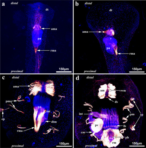 Myogenesis during the budding process of Hislopia malayensis. Maximum-intensity projections of confocal laserscanning image stacks. (a) Early budding stage showing the polypide anlage and the first anlagen of the developing apertural and retractor muscles at its distal and proximal side, respectively. (b) More advanced budding stage with distinct tentacle anlagen (asterisk), in which the cystid of the bud has widened distally and the apertural and retractor muscle anlagen have grown and are more pronounced. (c) Advanced budding stage where first anlagen of the digestive tract musculature have formed and the parietal muscles are present laterally of the polypide anlage. Both, the apertural and the retractor muscle anlagen are most prominent. The former consists of loosely smooth muscle fibres, whereas the prospective retractor muscles have differentiated into two elongated muscle fibre bundles. (d) Almost completely developed zooid where most parts of the digestive tract, especially the most prominent proventriculus, are formed similar to the adult. Compare to Figures 3 and 4 for details on the musculature of adult specimens. Abbreviations: am - apertural muscles, ama - apertural muscle anlage, cae - caecum, ds - diaphragmatic sphincter, dt - distal tip of the cystid of the bud, dtm - developing digestive tract musculature, ep - epizooic organism, int - intestine, lb - lophophore base, pa - polypide anlage, pma - parietal muscle anlage, pm - parietal muscles, pv - proventriculus, rm - retractor muscles, rma - retractor muscle anlage, vwm - vestibular wall musculature.