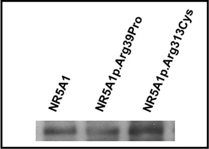 mamld1 mutation and phenotypes of hypospadias Mastermind-like domain containing 1 (mamld1) elisa kits mamld1 encodes a mastermind-like domain containing protein additionally we.