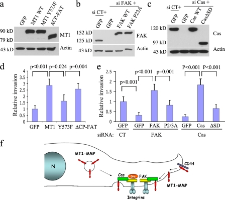 FA-mediated matrix degradation promotes tumor cell invasion. PANC-1 cells were transfected with MT1-MMP WT or mutants (a), and invasive potential was analyzed by the Boyden chamber assay in which filters were coated with 1 mg/ml Matrigel. Constructs that facilitate FA-type degradation (MT1-WT, ΔCP-FAT) significantly promoted invasion compared with the GFP vector or the MT1-Y573F mutant that cannot bind p130Cas (d). To test if a reduction of FAK and p130Cas exerts an inhibitory effect, HT-1080 cells were transfected with siRNA twice, and then rescued with either WT or mutant proteins (b and c). Although knockdown of either FAK or p130Cas significantly impaired invasion (e), this could be reversed by expression of WT proteins. Mutant proteins that cannot reconstitute the FAK–p130Cas–MT1 complex did not provide a functional rescue (e). The graphed data represent results from three independent experiments ± SD, and were normalized to the average of control cells (as 1). (f) Illustration depicting the central theme of this study: a FAK–p130Cas complex mediates the docking of MT1-MMP at FAs. MT1-MMP is trafficked to the surface via exocytotic vesicles for fusion with the membrane to release MT1 that can be recruited by the FAK–p130Cas complex at FAs. In addition, MT1 is recruited to lamellipodia by CD44 that may diffuse along the membrane for recruitment to FAs. Src kinase activity at FAs mediates MT1 phosphorylation at Y573 that facilitates an interaction with the FAK–p130Cas complex at FAs.