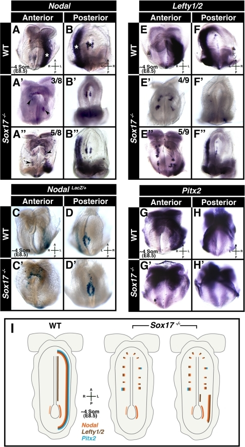 Sox17 mutants fail to establish LR asymmetry.Panels A-B″ and E-H′ depict wholemount mRNA in situ hybridizations, and panels C-D′ depict wholemount beta-galactosidase staining. (A and B) Nodal in ∼4 somite stage wild-type embryo (N = 14), localized around node (black asterisk) and along left LPM (white asterisks). (A′–B″) Nodal in ∼4 somite stage Sox17 mutants, around node, and either absent (A′ and B′, N = 3/8) or posteriorly restricted in left LPM (A″ and B″, N = 5/8), and present in ectopic patches on either side of midline (black arrowheads). (C and D) Nodal-LacZ in left LPM and around node of wild-type embryos (N = 6/6). (C′ and D′) Nodal-LacZ around node, absent from left LPM, and in ectopic patches on either side of midline in mutants (N = 4/4). (E and F) Lefty1/2 localized along left LPM and midline in wild-type embryo (N = 14/15). (E′–F″) Sox17 mutants exhibited absence (E′ and F′, N = 4/6) or reduction (E″ and F″, N = 5/9) of Lefty1/2 in left LPM. (G and H) Pitx2 in left LPM of wild-type embryo (N = 7/7). (G′ and H′) In the mutant, Pitx2 was absent from left LPM and punctate bilaterally (N = 5/5). (I) Diagram summarizing domains of Nodal, Lefty1/2, and Pitx2 expression in wild-type and Sox17 mutants. A, anterior; L, left; P, posterior; R, right.