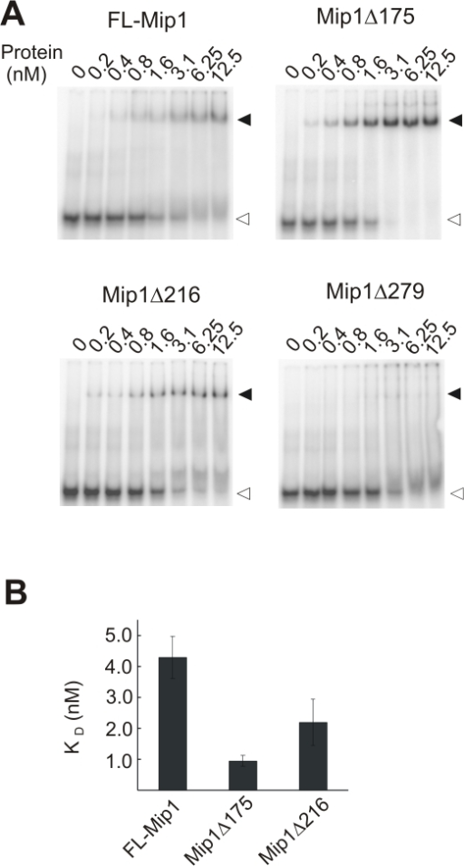 DNA binding affinity of Mip1 and C-terminal deletion mutants.DNA binding was measured with an electrophoretic mobility shift assay using an oligomeric substrate of 45 nt template strand and a radiolabeled 25 nt primer. 0.2–12.5 nM polymerase was incubated for 2 min at 0°C with 1 nM substrate. A. Reaction products were resolved on a native Tris-glycine 8% polyacrylamide gel. Positions of the free and bound substrate are indicated accordingly with empty and filled triangles. B. The dissociation constant KD (nM) was calculated from the logarithmic binding curve as the concentration of the polymerase when 50% of the substrate was bound. Data from three independent experiments was used to establish the average KD and standard deviation values.