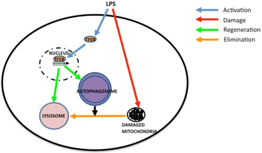 Model of organelle turnover during lps administration i open i model of organelle turnover during lps administration in rat hearteb pathway of autophagosomal and ccuart Choice Image