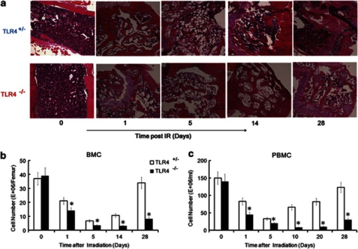 Increased mortality of TLR4−/− mice after IR associated with a severe and persistent BMC loss. (a) TLR4+/− mice and TLR4−/− mice were irradiated with 5 Gy and the femur was collected and subjected to an H and E assay at days 0, 1, 5, 14 and 28 post-IR. All images are × 100. The figure shows a typical H and E image of three independent experiments (N=3). (b, c). Kinetics of the BMC number and PBMC number in TLR4+/− mice and TLR4−/− mice after 5 Gy. (b) The BMC number was counted at days 0, 1, 5, 14 and 28 post-IR. (c) The PBMC numbers were measured at days 0, 1, 5, 14, 20 and 28 post-IR. *P<0.05