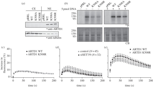 Methylation-deficient ARTD1 is less active and less efficiently recruited to sites of local DNA damage induced by femtosecond laser irradiation. (a) ARTD1 knockout MLFs were stably complemented with WT ARTD1 or two methylation-deficient mutants. Cells were then fractionated and CEs and NEs were analysed by western blot. (b) ARTD1 activity in NE from (a) was analysed by radioactive PAR assays in the absence or presence of 5 pmol-activating DNA. Experiments in A and B were repeated twice with a similar outcome and one representative blot is shown. Quantifications are shown in the electronic supplementary material, figure S5a,b. (c) Recruitment of WT and K508R ARTD1 to sites of local DNA damage induced by femtosecond laser irradiation at λ = 1050 nm. (d) Recruitment of macroH2A1.1-EGFP to sites of local DNA damage induced by femtosecond laser irradiation at λ = 1050 nm. (e) Recruitment of WT and K508R ARTD1 to sites of DNA damage by femtosecond laser irradiation at λ = 775 nm.