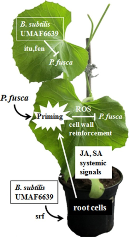 Schematic representation of the mechanisms of action of B. subtilis UMAF6639 against the cucurbit powdery mildew fungus P. fusca. UMAF6639 acts in the phyllosphere through direct antagonism mediated by the production of iturin (itu) and fengycin (fen) antifungal lipopeptides. In the rhizosphere, UMAF6639 acts by activation of JA- and SA-dependent defence responses, in which surfactin (srf) is an elicitor. These defence responses include the production of reactive oxygen species (ROS) and cell wall deposits (cell wall reinforcement), which are activated after pathogen attack (priming).