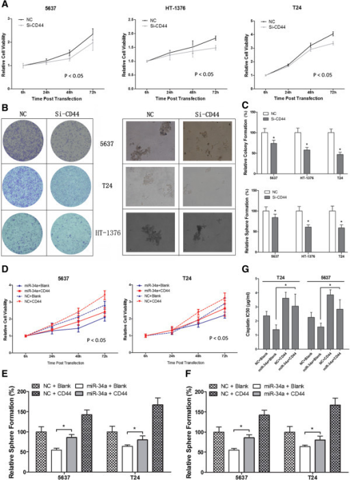 The tumor-suppressive and chemosensitivity functions of miR-34a were mediated by reduction the production of CD44. Downregulation of CD44 by siRNA led to similar effect of miR-34a overexpression on A) cell proliferation (mean ± SEM; n = 3; *p < 0.05) and B-C) tumorigenity (mean + SEM; n = 3; *p < 0.05). Increased CD44 expression could efficiently reverse the effect of miR-34a on MIBC D) cell proliferation (mean ± SEM; n = 3; *p < 0.05), E-F) colongenic potential and G) chemosensitivity (mean + SEM; n = 3; *p < 0.05).