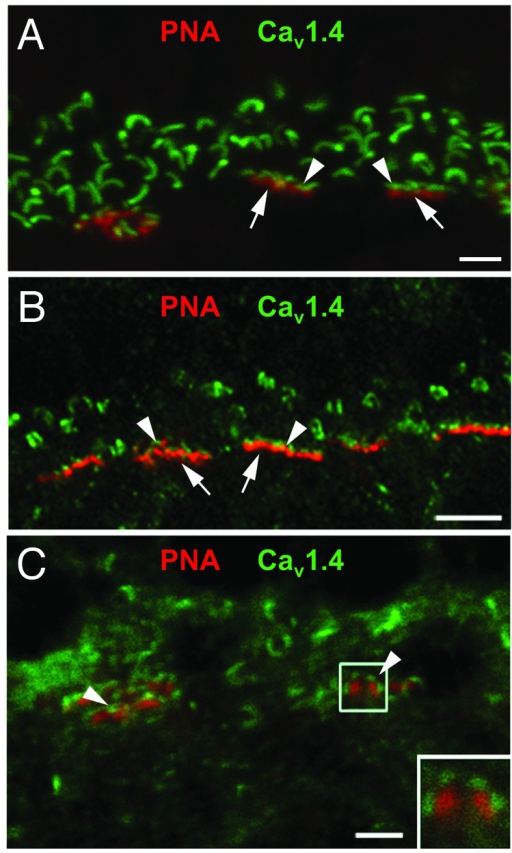 Figure 2. Cav1.4 antibodies label cone PR synapses. Double-labeling with antibodies against Cav1.4 (green) and PNA (red) in retina from mouse (A), macaque (B), and human (C). In (A and B), arrows and arrowheads indicate localization of PNA and Cav1.4, respectively, at elongated structures resembling cone synapses. In (C), arrowheads indicate Cav1.4 labeling clustered at PNA-labeled cone synapses. Inset in (C) shows high magnification view of boxed region. Scale bars: 2 μm. Results in (A) are representative of at least 3 independent experiments. Results in (B and C) are from 1 experiment.