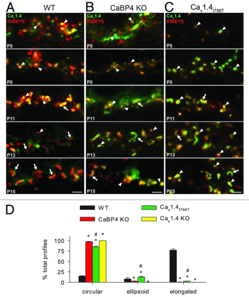 Figure 4. The maturation of synaptic ribbons is impaired in CaBP4 KO and Cav1.4I756T mouse retina. (A–C) Immunofluorescence for RIBEYE (red) and Cav1.4 (green) in retina from WT (A), CaBP4 KO (B), and Cav1.4I756T (C) mice (P5-P15). Mature (arrows) and immature (arrowheads) ribbon morphologies are indicated. Scale bars: 2 μm. (D) Quantitative analysis of ribbon morphologies in retinal sections that were single-labeled with RIBEYE antibodies. RIBEYE-positive profiles were categorized according to morphology as described in the Materials and Methods and presented as the mean ± SEM. The total number of profiles examined was 1003 (WT), 1073 (Cav1.4I756T), 1140 (CaBP4 KO), and 1118 (Cav1.4 KO) in 5 animals per genotype; the retinas from each were processed in independent experiments. *, p < 0.001 compared with WT by ANOVA; #, p < 0.05 compared with CaBP4 KO by Student Newman-Keuls test.