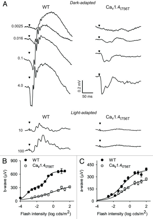 Figure 6. ERGs from WT and Cav1.4I756T mice. (A) Representative voltage traces from flash ERG recordings in 5–6-week old dark- adapted or light-adapted WT and Cav1.4I756T mice. Arrowheads indicate time of flash, numbers indicate flash intensities (cd•s /m2). (B and C) b-wave amplitudes (B) and a-wave amplitudes (C) measured from recordings of dark-adapted mice obtained as in (A). Points represent the mean ± SEM (n = 8; left and right eyes from 4 mice). Smooth lines represent fits from double (WT in B) or single sigmoidal functions.