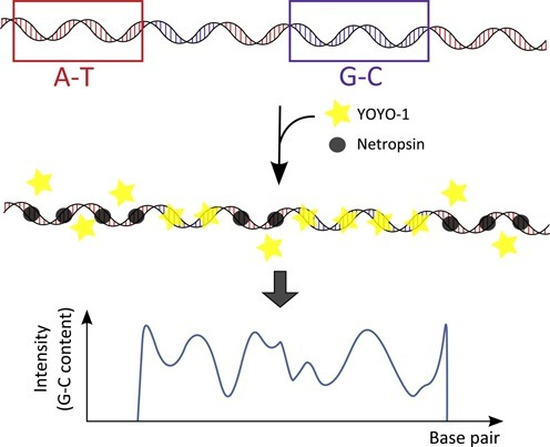 Schematic illustration of the principle of the CB assay. YOYO-1 (yellow stars) and netropsin (gray circles) are simultaneously added to a DNA with AT- rich (red) and GC-rich (blue) regions. Netropsin binds preferentially to AT-rich regions preventing YOYO-1 to bind to these regions. When stretched in nanofluidic channels the DNA molecules show an emission intensity along the contour that reflects the underlying sequence with bright GC-rich and dark AT-rich regions.