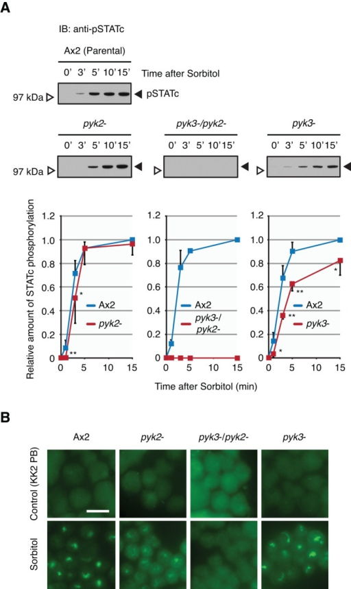Characterization of the pyk2−, pyk3−, and double- strains. (A) Hyperosmotic stress–induced activation of STATc in parental Ax2 and pyk2−, pyk3−, and double- strains. Parental Ax2 cells and  cells were developed in shaken suspension for 4 h and then treated with sorbitol at 200 mM for the indicated times. Tyrosine phosphorylation of STATc was assayed by Western transfer, using phospho-STATc antibody CP22. The same blot was reprobed with total-STATc antibody 7H3 (unpublished data). The combined data from several such experiments are shown as fold relative to sorbitol-induced Ax2 (at 15 min) ± SD. Student's t test: *p < 0.05; **p < 0.01. (B) Nuclear enrichment of STATc in parental Ax2 and pyk2−, pyk3−, and double- strains. Cells developed as in A were treated with sorbitol at 200 mM for 5 min. The nuclear accumulation of STATc was assayed immunohistochemically, using total STATc antibody. KK2 PB–treated cells were used as control, as it is the vehicle for sorbitol. Bar, 10 μm.
