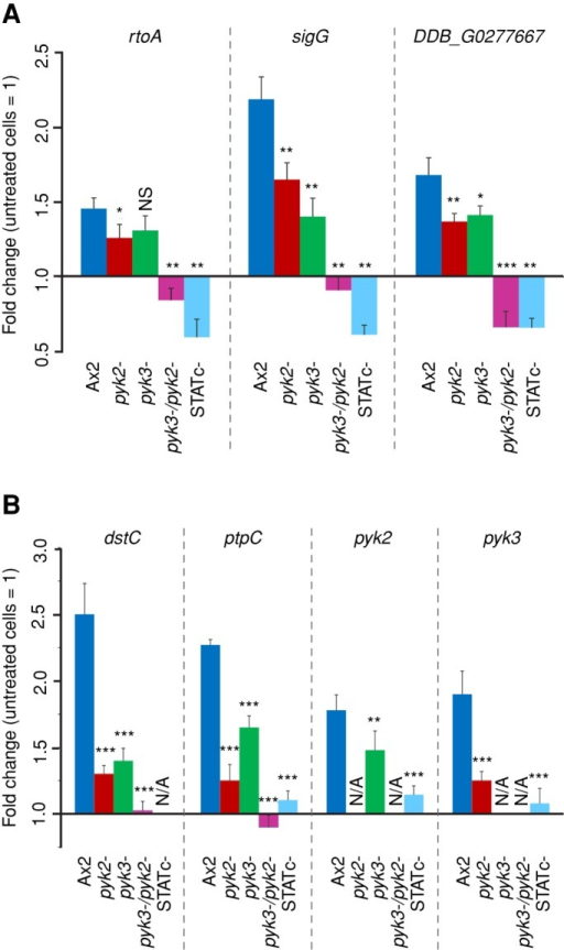 Transcriptional regulation of STATc target genes and STATc pathway genes. Real-time PCR analysis of selected STATc-dependent genes was carried out with cDNAs from Ax2 wild-type, pyk2−, pyk3−, pyk2−/pyk3−, and STATc− cells either treated for 15 min with 200 mM sorbitol or left untreated. (A) Differential expression of STATc target genes rtoA, sigG , and DDB_G0277667. (B) Differential expression of STATc pathway genes dstc, ptpC, pyk2, and pyk3. The data are expressed as means of fold change in comparison to untreated cells. Fold changes and SEM of three independent experiments with three measurements each. N/A, not applicable. Unpaired t test: *p < 0.05; **p < 0.01; ***p < 0.001; NS, not significant. Statistical significance as compared with expression values in Ax2 cells is indicated.