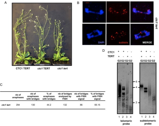 Absence of TERT in ctc1 mutant plants leads to telomere shortening and increased cytogenetic damage. (A) Phenotypes of the mutants six weeks after germination. (B) Images of flower pistil mitotic anaphases showing chromosome bridges with subtelomeric signal in ctc1 tert analysed by FISH with the nine subtelomeric BAC fluorescent probes (magenta). DNA is stained with DAPI (blue). Bar = 2 μm. (C) Percentages of anaphases with chromosomal bridges and the percentages of anaphases with subtelomeric signal in bridges (from three different plants in each case) of ctc1 tert. (D) TRF analysis of bulk telomere length in DNA from flower buds of CTC1 TERT, CTC1 tert, ctc1 TERT and ctc1 tert mutants using telomeric (left) the chromosome 2 subtelomeric (right) probes.