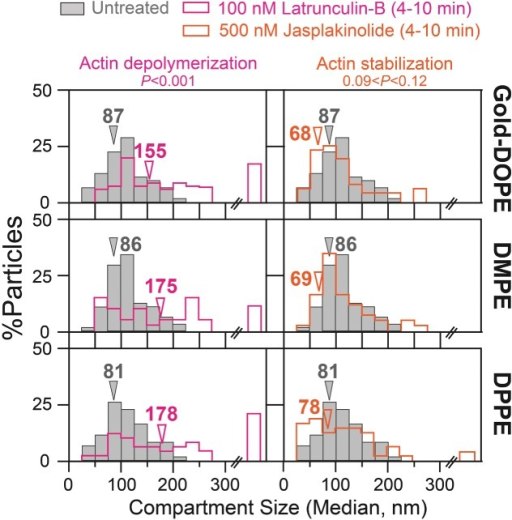 The effects of partial actin depolymerization and stabilization on the compartment size of the HASM-cell PM, evaluated by ultrafast single-particle tracking of Gold-PEs at a 20-microsecond resolution. Arrowheads indicate median values. Gray bars indicate the distributions before drug treatments (control). The results are summarized in Table4, including the numbers of examined particles. p: the results of the Mann–Whitney U-test.