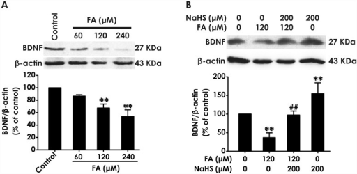 Effect of H2S on the expression of BDNF protein in formaldehyde-treated PC12 cells.(A) PC12 cells were treated with formaldehyde (FA, 60, 120, or 240 μM) for 24 h. (B)After pretreatment of PC12 cells with NaHS (200 μM) for 30 min, FA (120 μM) was added to culture medium and coincubated for 24 h. The expression of BDNF protein was determined by Western blot using anti-BDNF antibody, and β-actin was used as a loading control. The ratio of BDNF to β-actin is normalized by the value in control group. Values were expressed as the mean ± S.E.M. of three independent experiments. **P < 0.01, versus control group; ##P < 0.01, versus FA-treated along group.