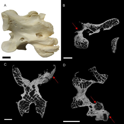 S. camelus (BHI 6241) cervical vertebra; photograph of the specimen in medial-lateral view (A) and XMT slices in medial-lateral (B), dorsal-ventral (C) and transverse (D) views.The affected zygapophysis shows large necrotic cavities (red arrows) surrounded by relatively dense reactive bone, which spreads both internally and externally to form osteophyte 'hooks.' Scale bar is 1 cm.