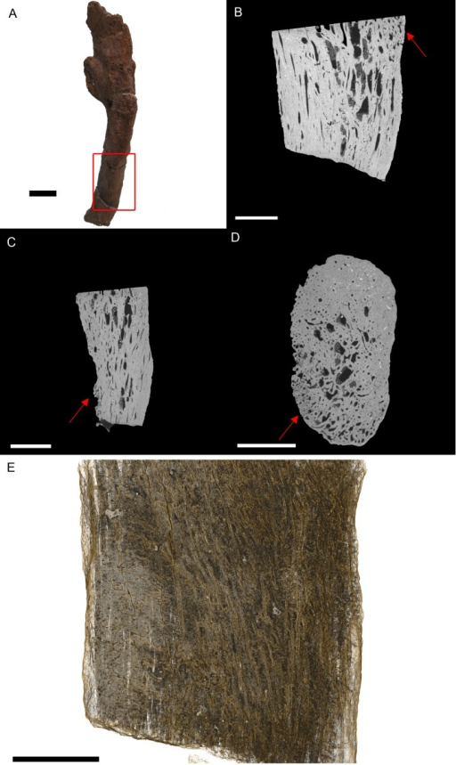 T. rex (BHI 3033) cervical rib; photograph of the specimen in rostral-caudal view (A), XMT slices in medial-lateral (B), rostral-caudal (C) and transverse (D) views, and 3D rendering in medial-lateral view (E).Reactive bone is observed in some concentrated areas (red arrows). The high porosity consists of long canals running parallel to the long axis of the specimen (E in yellow). Scale bar is 5 mm.