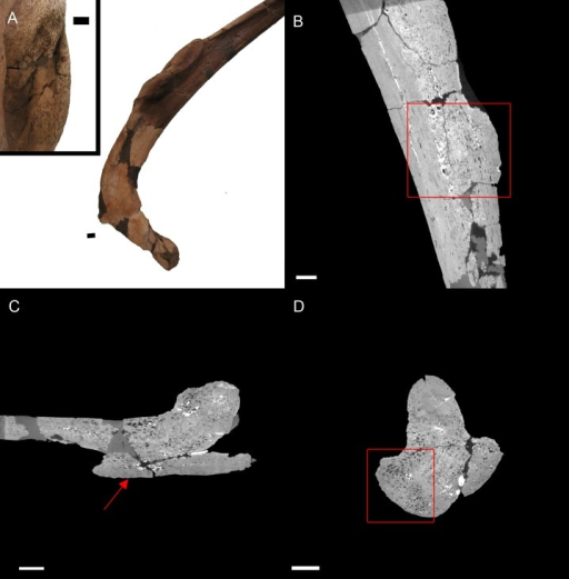 "E. annectens (BHI 6184) dorsal rib; photograph of the specimen in rostral-caudal view with magnified image of the 'folded tissue' (A) and XMT slices in rostral-caudal (B), medial-lateral (C) and transverse (D) views.The reactive bone growth is localised to one side of the rib (red boxes B, D). There are no signs of trauma, though smaller fractures may be concealed within the pathological mass. The ""folded"" morphology of the pathological mass is seen as an outgrowth of bone (red arrow C). Scale bar is 1 cm."