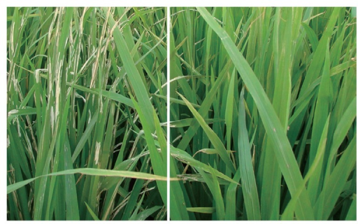 The resistance of control Guangzhan 63S (left) and 208S (right) against natural infection of leaffolders under field conditions without chemical control (Changxing, China, 2011).