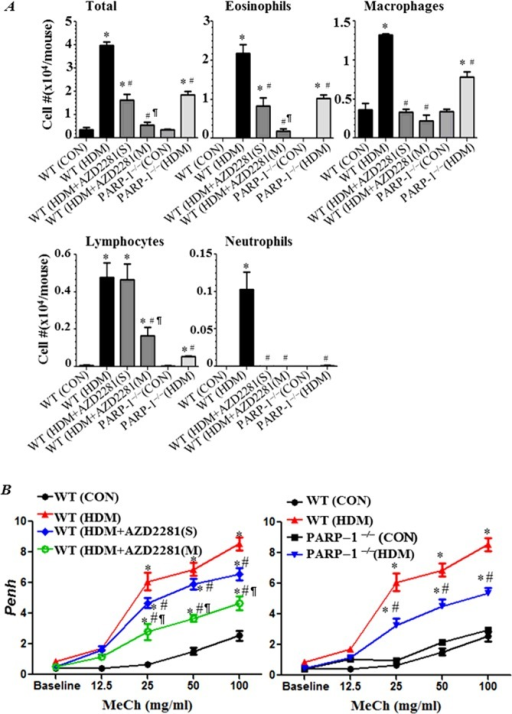 PARP inhibition by olaparib or gene knockout blocks asthma-like traits in chronically HDM-exposed miceC57BL/6J WT or PARP-1−/− mice were subjected to HDM challenge or left untreated. HDM-challenged WT mice received 5 mg/kg of olaparib or saline once (S) 30 min after the last HDM challenge or once daily for 3 days (M). All mice were killed 48h later and BALF and organs were collected. (A) Cells of BALF were differentially stained and total eosinophils, macrophages, lymphocytes and neutrophils were counted. Data are expressed as total number of cells per mouse. (B) WT mice were subjected to HDM challenge followed by an i.p. injection of saline (▲), single (◆) or multiple administrations of 5 mg/kg olaparib (○). Control mice were not sensitized or challenged (●). PARP-1−/− mice were also subjected to HDM challenge (▼) and control mice were left unchallenged (■). Penh was recorded 24 h later using a whole body plethysmograph system before and after the indicated concentrations of aerosolized methacholine (MeCh). Results are plotted as maximal fold increase in Penh relative to baseline and expressed as mean ± S.E.M., where n=6 mice per group. *Difference from control WT mice, P<0.01; #Difference from HDM-challenged WT mice, P<0.01; ¶Difference from HDM-challenged WT mice that received a single dose of olaparib, P<0.01.