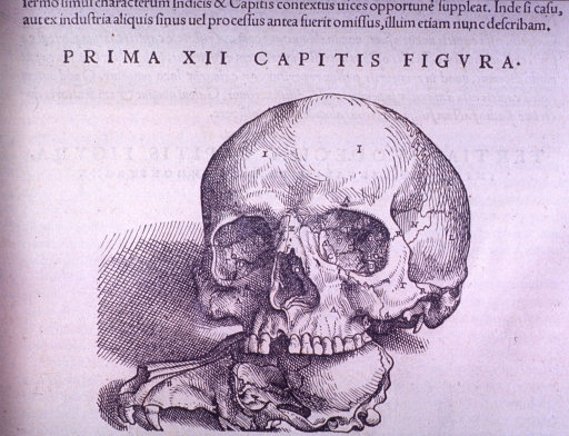 <p>Front view of the skull with the jawbone removed, contrasted to an animal skull.</p>