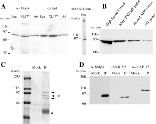 Xklp3 is a subunit  of the Kinesin II heterotrimeric complex and is associated to Golgi membranes.  (A) Characterization of antibodies against Xklp3. Antibodies raised against the  NH2-terminal (α-Motor) and  the COOH-terminal (α-Tail)  region of Xklp3 recognize a  single band of ∼95 kD on  Western blots of Xenopus  low-speed egg extract,  XL177, and A6 cell extracts.  The monoclonal anti-tail,  mAb X3T-3A6, recognizes a  single band at 95 kD in low-speed egg extract. (B) Xklp3  cosediment with microtubules in the presence of  AMP-PNP, and is released  from the MT by addition of  ATP. Xenopus egg extract  (High Speed Extract) was  used to prepare a fraction enriched in motor proteins  (Materials and Methods).  The high speed extract, the  MT pellet in presence of  AMP-PNP, the motor proteins released from MT by  ATP, and the MT pellet after  ATP elution were analyzed  by Western blot and probed  with the anti–Xklp3-tail antibody. Most of Xklp3 is released from the microtubules  by 10 mM ATP. (C and D)  Xklp3 is a subunit of a heterotrimeric complex, homologous to the Kinesin II complex. (C) Coomassie-stained gel of an immunoprecipitation from low-speed Xenopus egg extract using the anti–Xklp3-tail antibody. Two proteins (80 and 110 kD, arrows) coimmunoprecipitate with Xklp3 (asterisk).  A control was done using protein A beads alone (Mock lane), similar results were obtained using nonspecific rabbit IgG. Arrowhead,  lower bands that represent the antibodies' heavy chains. (D) Western Blot of the immunoprecipitated fraction. The 95-kD band is recognized by the anti–Xklp3-tail antibody (α-Xklp3). The 85-kD band is recognized by an antibody against SpKRP85, the second KLP  subunit of Kinesin II (α-KRP85), and the 110-kD band by an antibody against SpKAP115, the third nonmotor subunit (α-KAP115). (E)  Double immunofluorescence on Xenopus XL177 cells with the anti–Xklp3-tail (left panel, green) and an anti-tubulin antibody (middle  panel, red). Xklp3 localizes to an extended juxtanuclear network. The nuclear pattern observed here is not representative of Xklp3  staining (see other figures where it is not present). Bar, 10 μm.