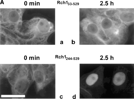(A) Rch1244–529 accumulates in the nuclei of Vero cells in vivo. Vero cells were injected into the cytoplasm with either Rch133–529  (a and b) or Rch1244–529 (c and d) and fixed immediately (a and c) and 2.5 h (b and d) after injection. Immunofluorescence was performed using an antibody against the T7-tag of the extracellular Rch1 proteins and a Cy3-coupled secondary antibody. Micrographs  were taken with a digital camera mounted on a fluorescence microscope. (B) Time course of nuclear accumulation of Rch1244–529. Vero  cells were injected either with Rch133–529 or Rch1244–529 and fixed at various time points as indicated on the x-axis. Cells were immunostained, and the amount of Rch1 fluorescence was measured as described in Materials and Methods. The staining of nuclear Rch1 is expressed as the percentage of total cell fluorescence residing in the nucleus and plotted against time after microinjection. For each time  point, the average value obtained from 10–20 cells in two to three independent experiments is shown; the standard deviation of the  mean is indicated by error bars. Bar, 25 μm.