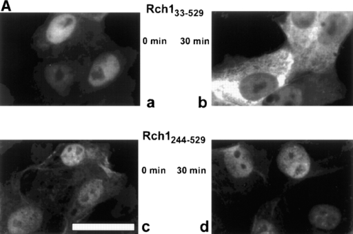 (A) Rch1244–529 is defective in nuclear export. Rch133–529 (a and b) and Rch1244–529 (c and d) proteins were injected into nuclei of  Vero cells. Fluorescence micrographs show cells fixed and stained 0 min (a and c) or 30 min (b and d) after injection. (B) Export kinetics  of Rch1. Vero cells were injected into the nucleus with either Rch133–529 or Rch1244–529 and incubated for the indicated time periods.  Quantification was performed as in Fig. 1 B. Bar, 25 μm.