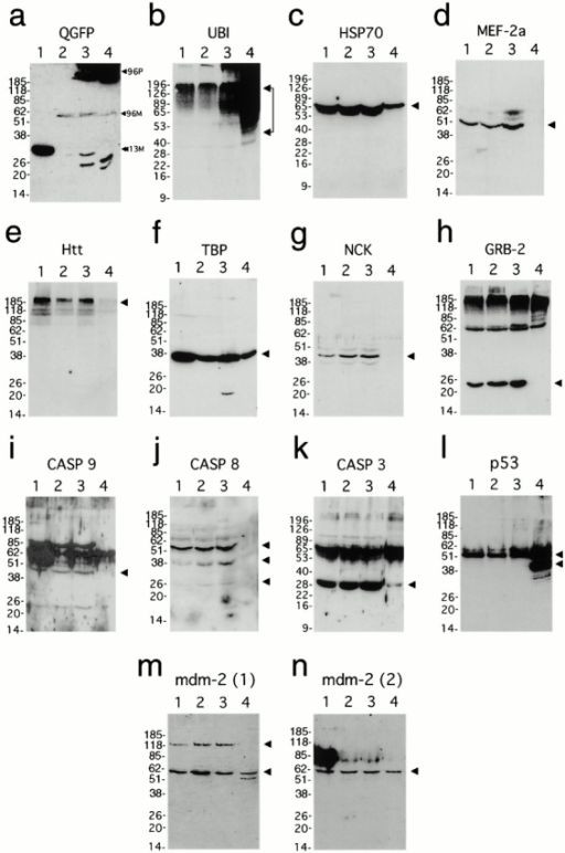 Western blot analysis of protein sequestration in purified IAs and control whole cell extracts. For all protein blots: lane 1, whole cell extracts from 5-d induced 13QN cells; lane 2, uninduced 96QN cells; lane 3, 5-d induced 96QN cells; and lane 4, isolated concentrated aggregates. Arrowheads at the right of autoradiograms indicate predicted molecular weights of individual protein species unless otherwise specified. (a) Processing for polyQ–GFP immunoreactivity. 96-P indicates the position of polyQN–GFP polymers within the stacking gel and near the top of the resolving gel (lanes 3 and 4), 96-M indicates a low level of 96QN monomers (lanes 2–4), and 13-M indicates the 13QN monomer band (lane 1). This autoradiogram was overexposed to reveal the 96QN monomer bands in lanes 3 and 4. (b) Ubiquitin; (c) HSP70; (d) MEF-2a; (e) Htt; (f) TBP; (g) Nck; (h) GRB-2; (i) caspase-9; (j) caspase-8 (putative procaspase-8, upper arrowhead; putative caspase-8 cleavage products, lower arrowheads); (k) caspase-3; (l) p53 and p50 immunoreactive species (upper and lower arrowheads, respectively); (m) mdm-2 antibody-1 (120-kD variant, upper arrowhead; p60 variant, lower arrowhead); and (n) mdm-2 antibody-2 immunoreactivity.