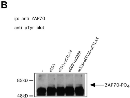 Anti-CD3–induced phosphorylation of TCR-ζ and ZAP70 is not affected by CTLA-4. (A) Preactivated T cells were coated with different  combinations of antibodies and lysed 1, 5, or 10 min after addition of warm cross-linking antibody. TCR-ζ was immunoprecipitated and immunoblotted  with antiphosphotyrosine antibody 4G10. Indicated with arrows are the p21 and p23 isoforms of tyrosine phosphorylated TCR-ζ. (B) Lysates prepared as  in A from cells stimulated for 1 min were immunoprecipitated with anti-ZAP70 antibody and immunoblotted with antiphosphotyrosine antibody 4G10.  Indicated with an arrow is phosphorylated ZAP70. Similar results were also obtained on lysates from 5 and 10 min–stimulated cells (not shown).