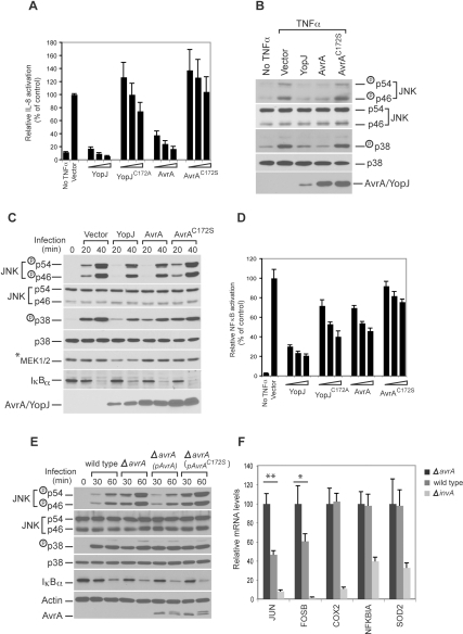 AvrA delivered by the TTSS inhibits the activation of the JNK but not the p38 or NF-κB pathways stimulated by S. typhimurium infection.A Transiently overexpressed AvrA inhibits TNFα-stimulated IL-8 transcription. HEK293 cells were co-transfected with a pIL8-luc firefly luciferase reporter plasmid along with a plasmid encoding renilla luciferase (to standardize transfection), and when indicated, with a plasmid encoding AvrA, YopJ or their catalytic mutants AvrAC172S or YopJC172A. Twenty-four hours after transfection, cells were treated with TNFα (10 ng/ml) for 30 min and the stimulation of IL-8 transcription in transfected cells was measured with the Dual-Luciferase Reporter Assay System (Promega) as indicated in Materials and Methods. Values represent fold induction in cells transfected with the plasmid vector alone and are the mean±standard deviation of three independent measurements. B and C Transiently overexpressed AvrA inhibits TNFα- and Salmonella infection-stimulated JNK and p38 pathways. HEK293 cells were transfected with the indicated plasmids and 24 hs after transfection, cells were either treated with TNFα (10 ng/ml) or infected with S. Typhimurium ΔavrA strain. Thirty minutes after treatment or at the indicated times after infection the activation of p38 and JNK was assayed by western immunoblot using antibodies directed to the phosphorylated (activated) form of these kinases (see Materials and Methods for details). D Transiently overexpressed AvrA inhibits TNFα-stimulated NF-κB promoter reporter transcription only very weakly. The assay was performed in the same way as in A, except that the reporter plasmid pBIIX-Luc was used, which harbors two tandem repeats of NF-κB recognition sites. Values represent fold induction in cells transfected with the plasmid vector alone and are the mean±standard deviation of three independent measurements. E AvrA delivered by the S. Typhimurium TTSS inhibits the JNK signaling pathway but does not affect the p38 or NF-κB pathways. HEK293 cells were infected with S. Typhimurium strains expressing AvrA or its catalytic mutant AvrAC172S and at the indicated times after infection, the stimulation of p38 and JNK, as well as stabilization of IκBα, were assayed by western immunoblot as described in Materials and Methods. F Quantitative RT-PCR analysis of selected genes induced by S. typhimurium infection. Henle-407 intestinal epithelial cells were infected for 1 h with S. typhimurium wild type, ΔavrA or the type III secretion-defective ΔinvA strains, and then chased in DMEM supplemented with gentamicin (100 µg/ml) for 3 hs. RT-qPCR was performed as described in Materials and Methods. COX2, NFKBIA, and SOD2 are regulated by the NF-κB pathway, while JUN and FOSB are regulated by the JNK pathway. The threshold cycles for the specified genes were normalized against the reference gene GAPDH. Values represent mRNA fold induction relative to that of ΔinvA strains and are the mean±standard deviation of four independent measurements. ** = P<0.001; * = P<0.05 (student t test, relative to wild type values).