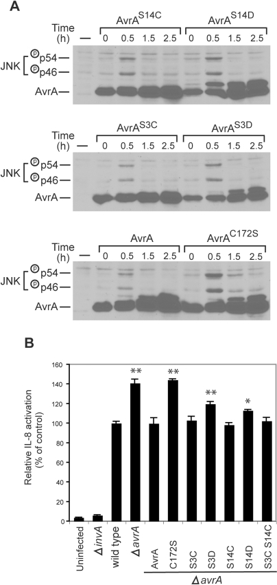 Effect of phosphorylation on AvrA function.A Effect of phosphorylation on the ability of AvrA to inhibt S. Typhimurium-activated JNK activation. Henle-407 cells were infected for 30 min with a ΔavrA strain harboring a low copy plasmid expressing FLAG-epitope tagged AvrA or the indicated mutants (all expressed from the avrA native promoter), then chased in DMEM supplemented with gentamicin (100 µg/ml) for the indicated times. The activation of JNK and the phosphorylation of AvrA were monitored by western immunoblot analysis as indicated above. B Effect of AvrA phosphorylaton on its ability to inhibit S. Typhimurium-stimulated IL-8 transcription. HEK293 cells were co-transfected with pIL8-luc firefly luciferase reporter plasmid along with a plasmid encoding renilla luciferase (to standardize transfection). Twenty four hours after transfection, cells were infected with S. Typhimurium strains expressing the indicated AvrA mutants and the stimulation of IL-8 transcription in infected cells was measured with the Dual-Luciferase Reporter Assay System (Promega) as indicated in Materials and Methods. Values represent fold induction in cells transfected with the plasmid vector alone and are the mean±standard deviation of three independent measurements. ** = P<0.001; * = P<0.05 (student t test, relative to wild type values).