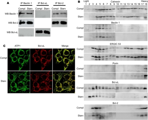Differences between Bcl-2 and Bcl-xL behaviour during autophagy.(A) Co-immunoprecipitation of endogenous Beclin 1 with endogenous Bcl-2 and Bcl-xL in HCT116-Bax KO cells grown in complete medium or starved for 6 hours. (B) Subcellular fractionation of HCT116-Bax KO cells grown in complete medium or starved for 6 hours. Cells were broken with a Dounce homogeniser, post-nuclear supernatants were loaded on top of a continuous 10–55% sucrose gradient for ultracentrifugation overnight. Fractions of 500 µl were collected, and total protein precipitated. The same volume of each fraction was separated on a 14% tris-tricine SDS-PAGE. Western-blots were as described in the methods section. (C) Immunocytochemistry on endogenous Bcl-xL and ATP1 in HCT116-BaxKO cells grown in complete medium or starved for 6 hours.