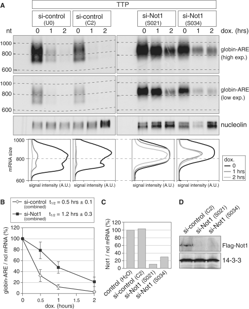 Not1 is required for ARE-mediated mRNA deadenylation and decay. (A) HeLa cells were transfected with two independent control siRNAs or two siRNAs targeting Not1. After 48 h, cells were transfected again with the same siRNAs together with a plasmid encoding TTP, a pTet-Off-driven β-globin reporter gene containing the ARE of TNF-α in its 3′ UTR, and the Tet-Off transactivator. Reporter gene transcription was blocked specifically by addition of doxycycline 24 h after the second transfection, and RNA was isolated after the time intervals indicated. Globin-ARE and nucleolin mRNA were detected by northern blot analysis; a high and low exposure is provided for the globin-ARE signal. The size of the mRNA was determined by comparison to an RNA marker. In the bottom panel, deadenylation was visualized by quantifying the signal intensity of globin-ARE mRNA along the length of the signal and plotting it as a function of mRNA size. (B) Quantification of the globin-ARE reporter mRNA decay in panel A and repeat experiments. Signal intensities of globin-ARE mRNA were normalized to nucleolin mRNA and represented as % of the initial value. Results from the two control and the two Not1 siRNA transfections were combined. The graph shows average values ± SE from eight (si-control) and six (si-Not1) biological repeat experiments. (C) HeLa cells were transfected twice with siRNAs as in panel A. Not1 mRNA levels were quantified by real-time PCR using nucleolin mRNA for normalization. (D) HEK293 cells were first transfected with Flag-Not1, and 1 day later with the siRNAs indicated. After one additional day, cytoplasmic lysates were prepared and analyzed by western blotting using antibodies against Flag and 14-3-3.