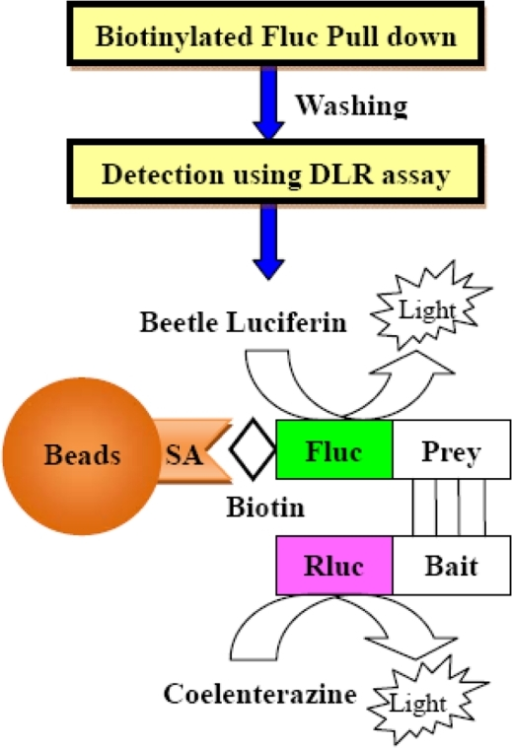 Design of the DLR-PD assay for the quantitative analysis of PPIs.Schematic diagram of the DLR-PD assay. Quantitative PPIs can be measured after the pull down of biotinylated Fluc-tagged prey proteins using SA-PMPs and bioluminescence detection of the biotinylated Fluc-tagged prey and Rluc-tagged bait proteins bound to the beads, respectively. SA, Streptavidin.