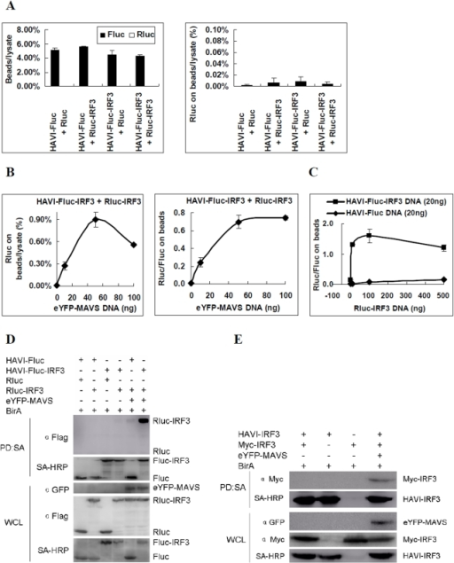 Analysis of IRF3 dimerization in the innate antiviral signaling pathway in HEK293 cells.(A) HAVI-Fluc-IRF3 did not associate with Rluc-IRF3 using the DLR-PD assay. HEK293 cells were co-transfected with the indicated expression vectors (100 ng), and the DLR-PD assay was performed. The Fluc and Rluc activity in lysate and on the beads were measured. The ratio of Fluc and Rluc activity on the beads compared with the cell lysate was calculated by dividing the Fluc and Rluc activity measured on the beads by the Fluc and Rluc activity of the same amount of lysate used in the pull-down assay. The percentage of Rluc on the beads compared with the cell lysate was calculated by dividing the Rluc activity measured on the beads by the Rluc activity of the same amount of lysate used in the pull-down assay. (B) HAVI-Fluc-IRF3 association with Rluc-IRF3 induced by overexpressed eYFP-MAVS in a dose-dependent manner using the DLR-PD assay. HEK293 cells were co-transfected with HAVI-Fluc-IRF3 (100 ng), Rluc-IRF3 (100 ng), and DNA (100 ng) containing eYFP-MAVS vector (0, 10, 50 or 100 ng) and control plasmid pcDNA3.1. The percentage of Rluc on the beads compared with the lysate was calculated by dividing the Rluc activity of Rluc-IRF3 measured on the beads by the Rluc activity in the same amount of lysate used in the pull-down assay. The Rluc/Fluc ratio on the beads was calculated by dividing the Rluc activity by the Fluc activity measured on the beads. (C) HAVI-Fluc-IRF3 association with Rluc-IRF3 induced by overexpressed eYFP-MAVS in HEK293 cells using the biotinylated protein pull-down assay. (D) Evaluation of the HAVI-IRF3 association with Myc-IRF3 induced by overexpressed eYFP-MAVS in HEK293 cells using the biotinylated protein pull-down assay. (E) The curve of the Rluc/Fluc ratio on the beads based on the DLR-PD assay results. HEK293 cells were transfected with eYFP-MAVS (50 ng), HAVI-Fluc-IRF3 (20 ng) or HAVI-Fluc (20 ng) and Rluc-IRF3 plasmid DNA (1, 10, 100 or 500 ng). Cells were collected at 48 h post-transfection and subsequently used in the DLR-PD assay.