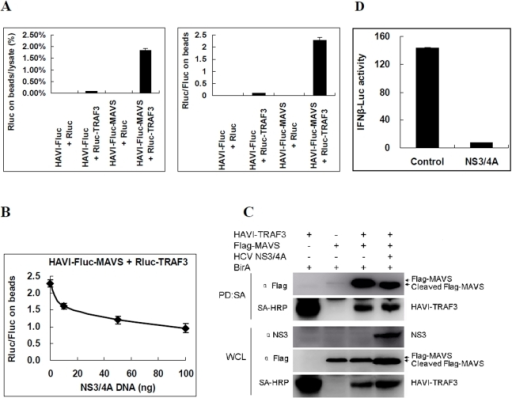 Analysis of MAVS-TRAF3 interactions and regulation by HCV NS3/4A in HEK293 cells.(A) HAVI-Fluc-MAVS was determined to be associated with Rluc-TRAF3 using the DLR-PD assay. HEK293 cells were co-transfected with the indicated vectors. The percentage of Rluc on the beads compared with the cell lysate was calculated by dividing the Rluc activity of Rluc-TRAF3 measured on the beads by the Rluc activity in the same amount of lysate used in the pull-down assay. The Rluc/Fluc ratio on the beads was calculated by dividing the Rluc activity by the Fluc activity measured on the beads. (B) Using the DLR-PD assay, the HAVI-Fluc-MAVS association with Rluc-TRAF3 was determined to be inhibited by HCV NS3/4A in a dose-dependent manner in HEK293 cells. Cells were co-transfected with HAVI-Fluc-MAVS (100 ng), Rluc-TRAF3 (100 ng) and DNA (100 ng) containing the NS3/4A vector (0, 10, 50 or 100 ng) and control plasmid pCI neo. The Rluc/Fluc ratio on the beads was calculated by dividing the Rluc activity by the Fluc activity measured on the beads. (C) Biotinylated protein pull-down assay to determine the MAVS-TRAF3 interactions and regulation by HCV NS3/4A in HEK293 cells. (D) Overexpression of HCV NS3/4A inhibited the MAVS-induced activation of the IFNβ-Luc promoter after normalization with RL-TK in HEK293 cells. The Fluc activity from different cell lysates was divided by that of cell lysates from mock transfected cells without MAVS activation.